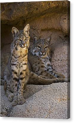 Canvas Print featuring the photograph Bobcat 8 by Arterra Picture Library