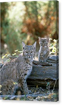 Bobcat Kittens Canvas Print - Bobcat Adult And Young Lynx Rufus by Art Wolfe