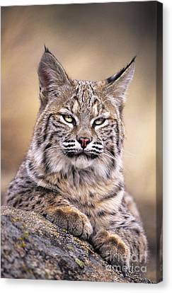 Bobcat Cub Portrait Montana Wildlife Canvas Print by Dave Welling