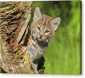 Bobcat Kitten  Felis Rufus  Peeks Canvas Print by Rebecca Grambo