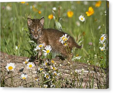 Baby Bobcat Canvas Print - Bobcat Kitten In The Flowers by Myrna Bradshaw