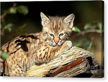Bobcat Kittens Canvas Print - Bobcat Kitten Lynx Rufus by Art Wolfe