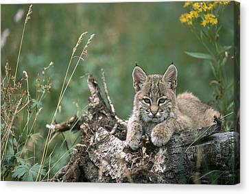 Baby Bobcat Canvas Print - Bobcat Kitten Resting On A Log Idaho by Michael Quinton