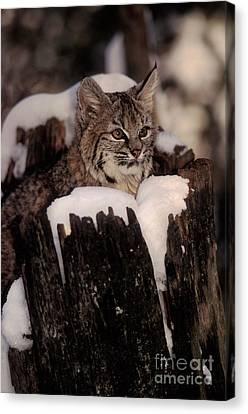 Bobcat Kittens Canvas Print - Bobcat Kitten by Ron Sanford
