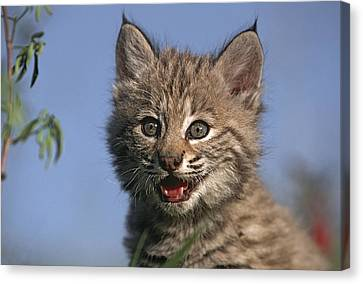 Bobcat Kittens Canvas Print - Bobcat Kitten by Tim Fitzharris