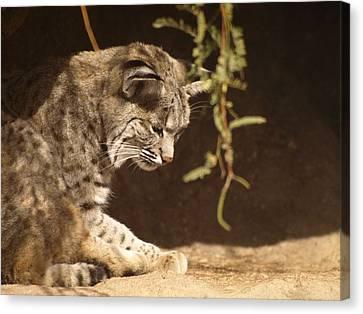 Bobcat Canvas Print by James Peterson