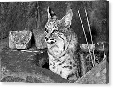 Bobcat Canvas Print by Nikolyn McDonald
