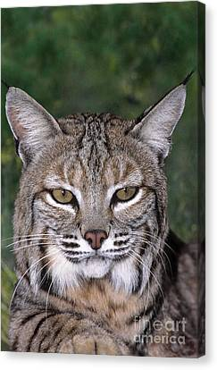 Bobcat Portrait Wildlife Rescue Canvas Print by Dave Welling