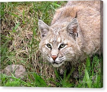Bobcat Stalking Canvas Print by Sylvie Bouchard