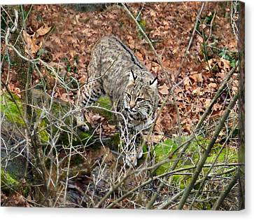 Bobcat Canvas Print by William Tanneberger
