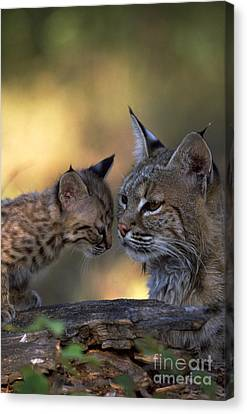 Bobcat With Kitten Canvas Print by Art Wolfe