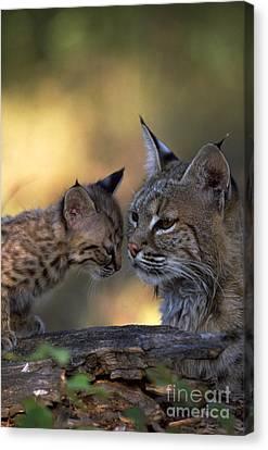 Bobcat Kittens Canvas Print - Bobcat With Kitten by Art Wolfe
