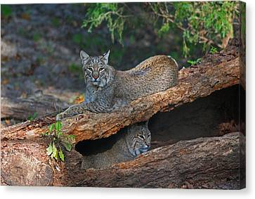 Bobcats At Rest Canvas Print by Jean Clark