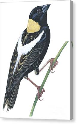 Bobolink Canvas Print by Anonymous