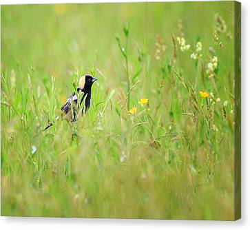 Bobolink In The Grass Canvas Print by Bill Wakeley