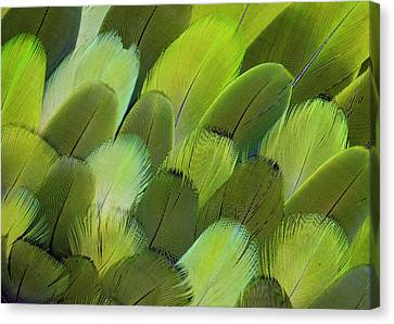 Body Feather Fan Design Of The Amazon Canvas Print
