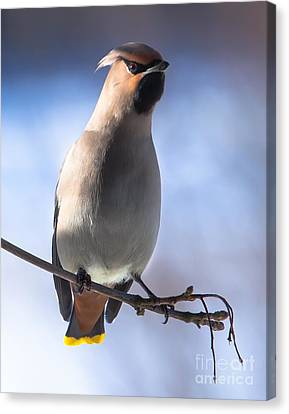 Canvas Print featuring the photograph Bohemian Waxwing Blue by Rose-Maries Pictures