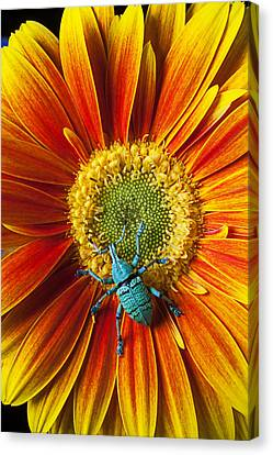 Boll Weevil On Mum Canvas Print by Garry Gay
