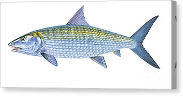 Bonefish Canvas Print by Carey Chen