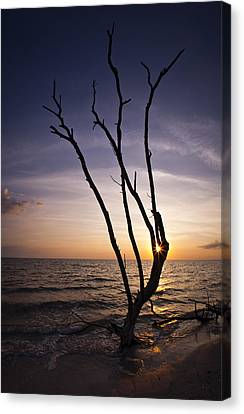 Canvas Print featuring the photograph Bonita Beach Tree by Bradley R Youngberg