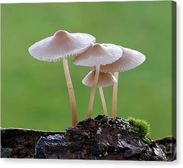 Bonnet-cap Fungus (mycena Galericulata) Canvas Print by Nigel Downer