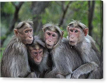 Bonnet Macaques Huddling India Canvas Print by Thomas Marent
