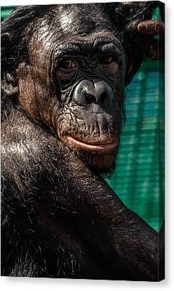 Bonobo Monkey Canvas Print by Brian Stevens