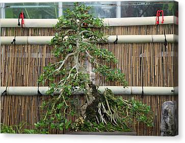 Bonsai Treet - Us Botanic Garden - 01135 Canvas Print