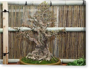 Bonsai Canvas Print - Bonsai Treet - Us Botanic Garden - 01136 by DC Photographer