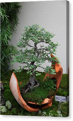 Mini Canvas Print - Bonsai Treet - Us Botanic Garden - 01138 by DC Photographer