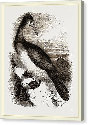 Booby Or Brown Gannet Canvas Print
