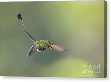 Booted Racket-tail Hummingbird Canvas Print by Dan Suzio