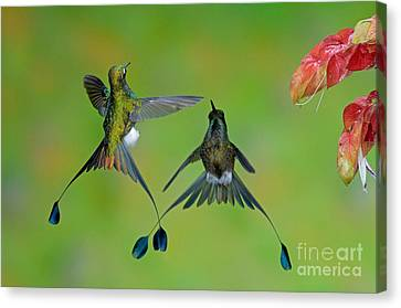 Booted Racket-tail Hummingbird Males Canvas Print by Anthony Mercieca