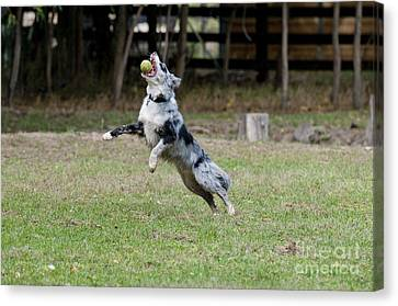 Border Collie Catching A Ball Canvas Print by William H. Mullins
