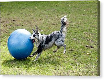 Border Collie Chasing Ball Canvas Print by William H. Mullins