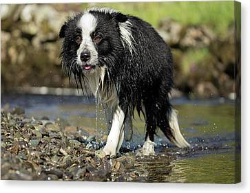 Border Collie Dripping Wet After Swimming Canvas Print
