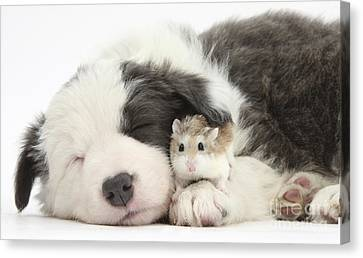 House Pet Canvas Print - Border Collie Puppy With Roborovski by Mark Taylor