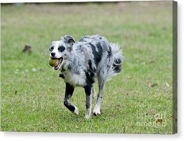 Border Collie Retrieving A Ball Canvas Print by William H. Mullins