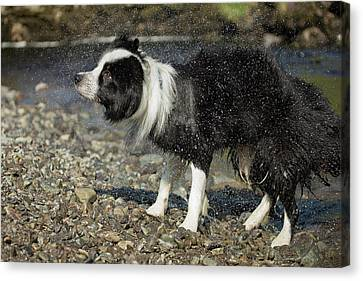 Border Collie Shaking Dry After Swimming Canvas Print