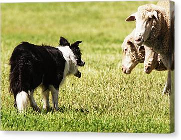 Border Collie Staring At Three Sheep Canvas Print