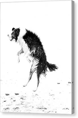 Border Collie With Ball Canvas Print