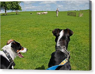 Canvas Print featuring the photograph Border Collies by Dennis Cox WorldViews