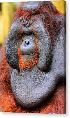 Bornean Orangutan Iv Canvas Print by Lourry Legarde
