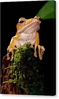 Anuran Canvas Print - Borneo Eared Frog, Polypedates by David Northcott