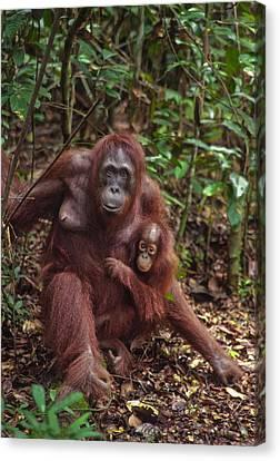 Borneo Rain Forest Mother Canvas Print