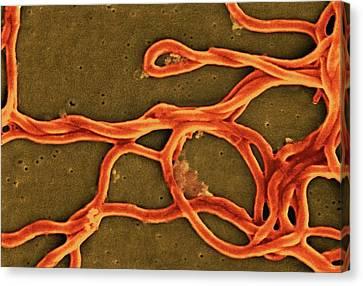 Sem Canvas Print - Borrelia Burgdorferi Bacteria by Ami Images/janice Haney Carr