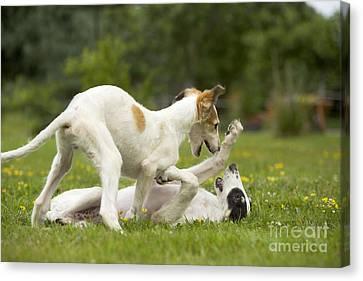 Borzoi Puppies Playing Canvas Print