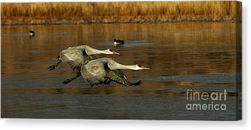 Bosque Del Apache Flight Formation Canvas Print by Bob Christopher