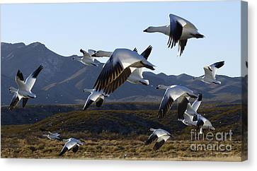 Bosque Del Apache Snow Geese In Flight Canvas Print by Bob Christopher