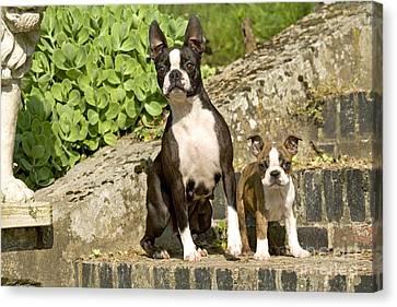 Boston Terrier And Puppy Canvas Print by Jean-Michel Labat